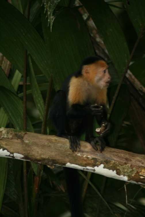 a white faced capuchin monkey enjoying a spot of lunch