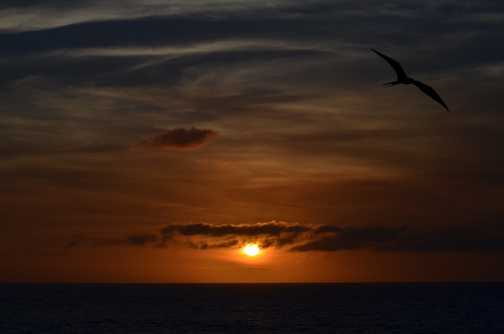 A Frigate bird circling the boat at sunset