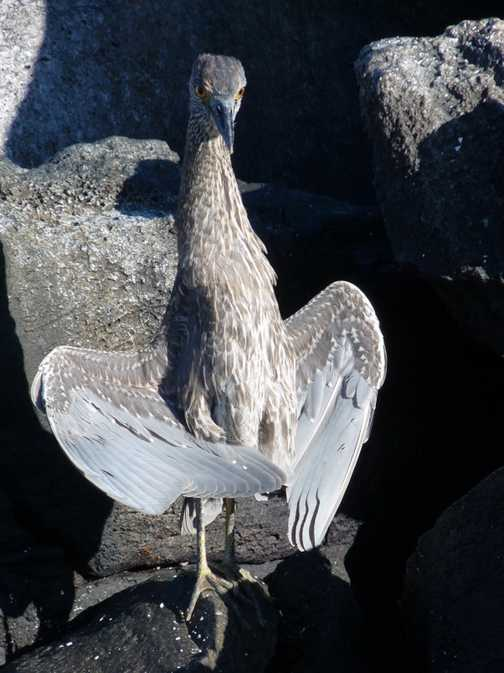 Not certain exactly what this bird is, but it is a good pose.  Drying out in the sun.