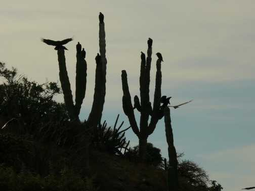 Turkey Vultures on a Cardon cactus