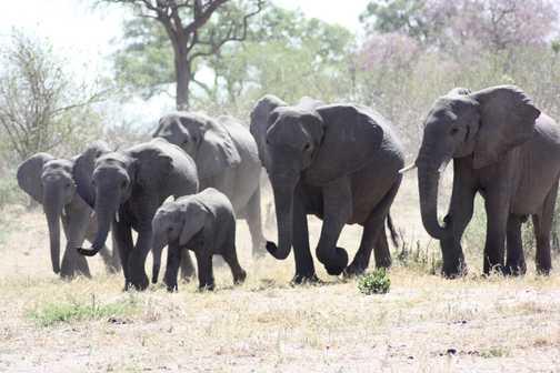 Elephants crossing Linyanti River