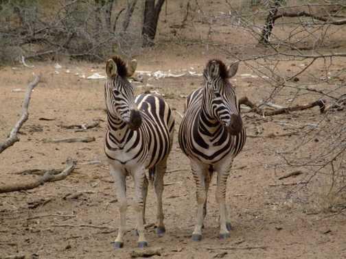 Zebra at waterhole