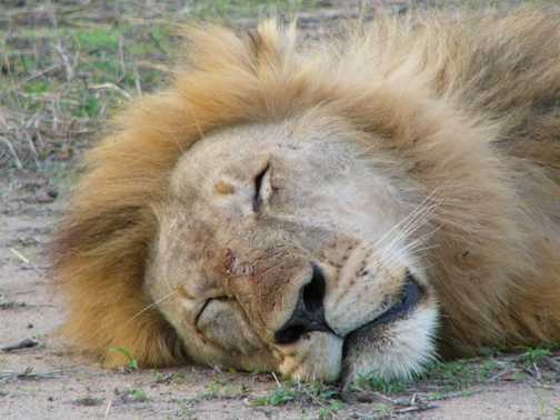 Lion doing what lions do best 2