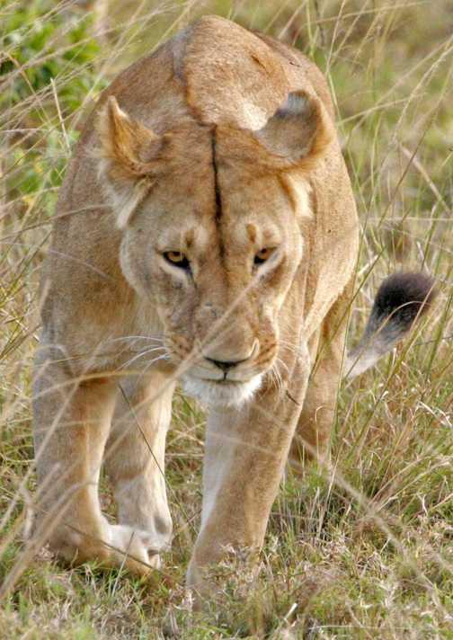 Lioness in Masai Mara