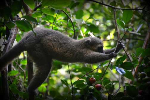 Brown Fronted Bamboo Lemur