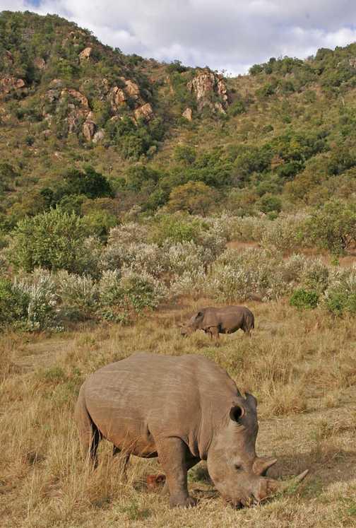 Rhinos on Rhino Ridge