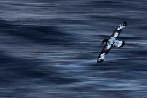 Cape Petrel in the Drake