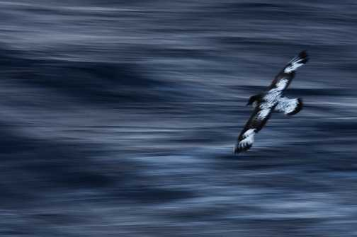 Cape Petrel in the Drake