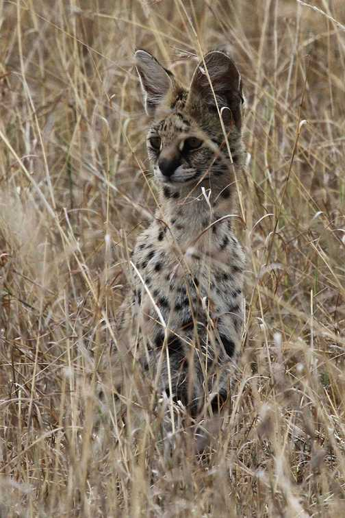 Serval in long grass