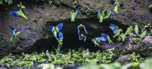 Parakeet lick at Napo