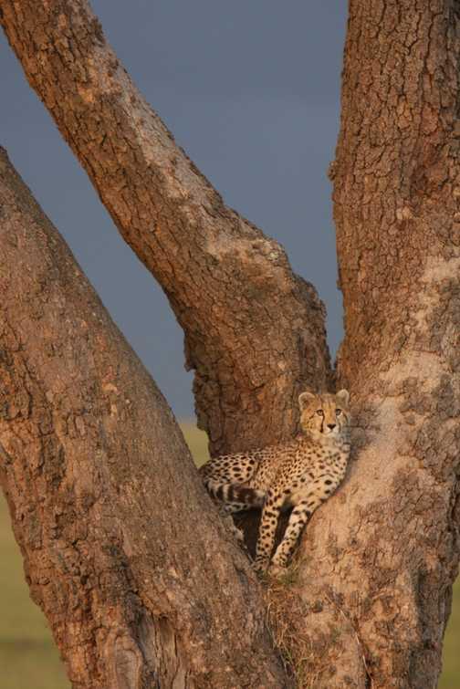 Cheetah cub practices tree climbing