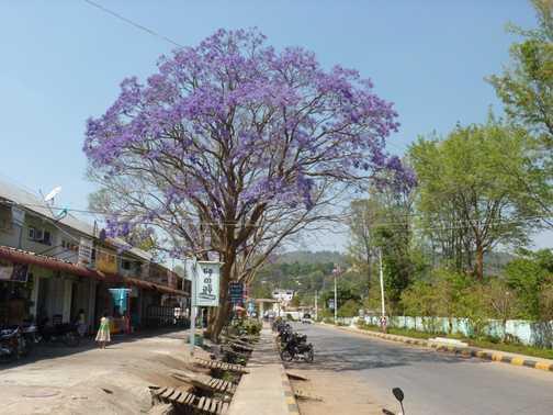 I love Jacaranda trees!