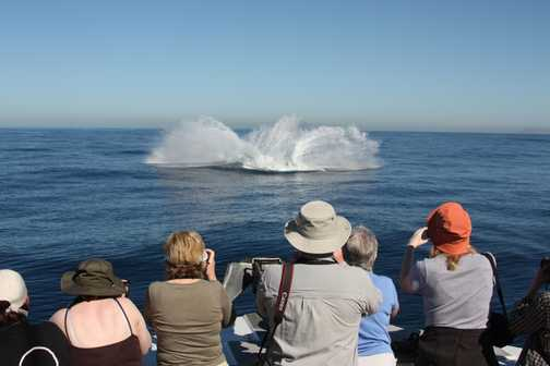 Observing Humpback breaching 2