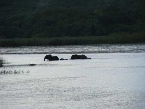 Elephant in the Nile in Murchison Falls NP