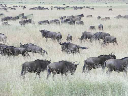 Serengeti ....wildebeest .... as far as the eye can see