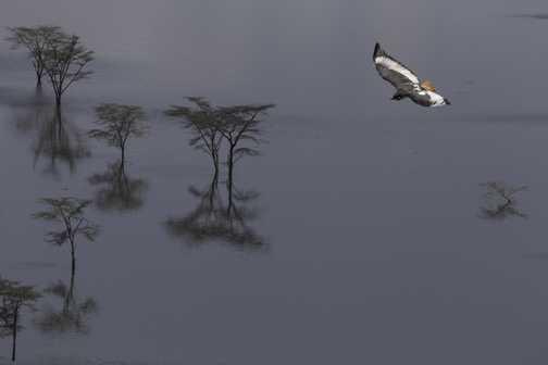Augar Buzzard on Lake Nakuru