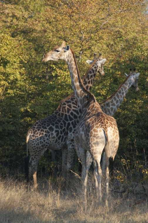 trio of giraffe