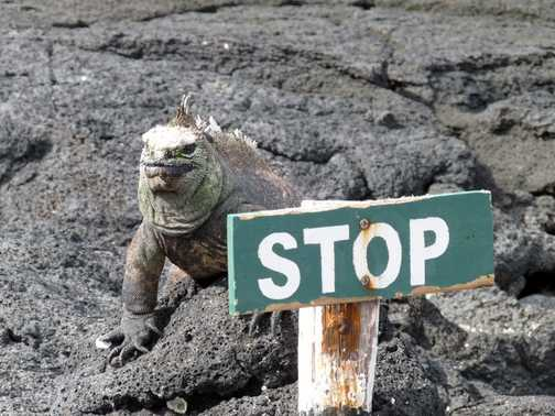 Marine Iguana guarding the end of the tourist path.