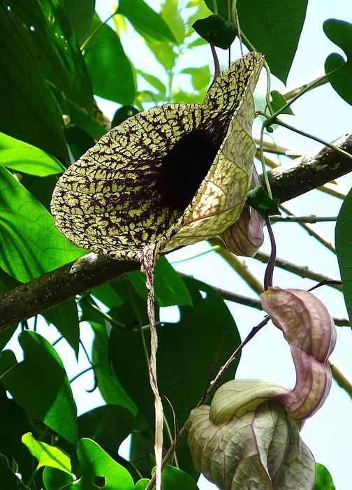 Aristolochia grandiflora -Pelican Flower