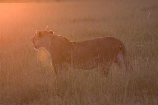 Backliight lion
