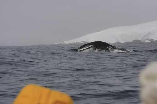 humpback feeding - Melchior islands