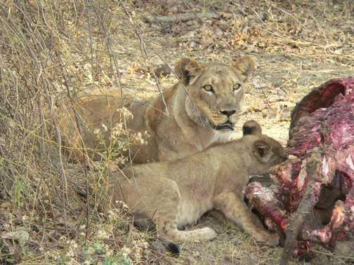 Lions on Kill 3