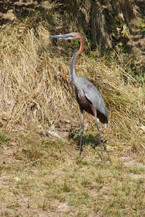 Magnificent Goliath Heron