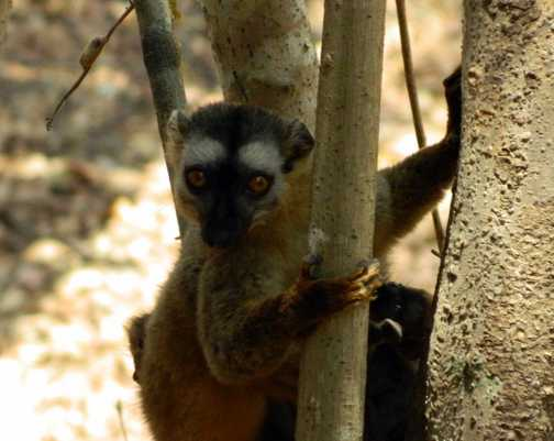 Lemur giving me the finger