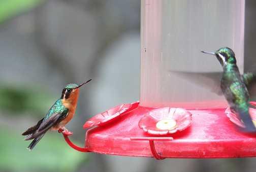 Hummingbird - Cloud Forest Lodge, Monteverde