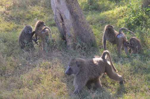 Effing baboons