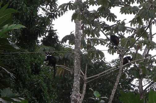 Howler monkeys, Tortuguero