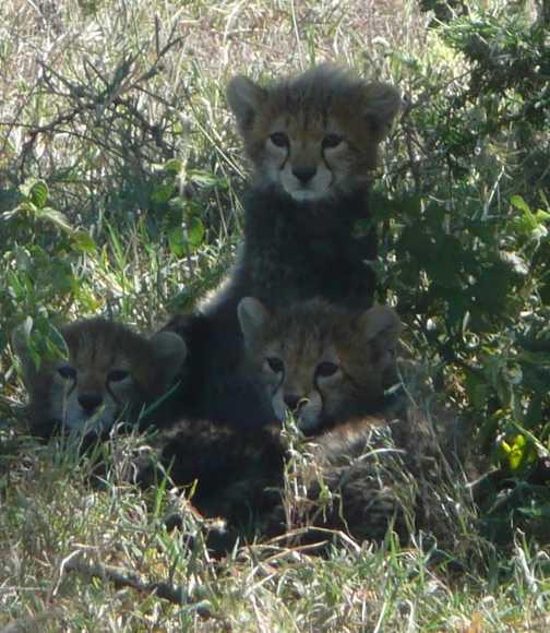 Cheetah cubs - don't deny the cuteness!