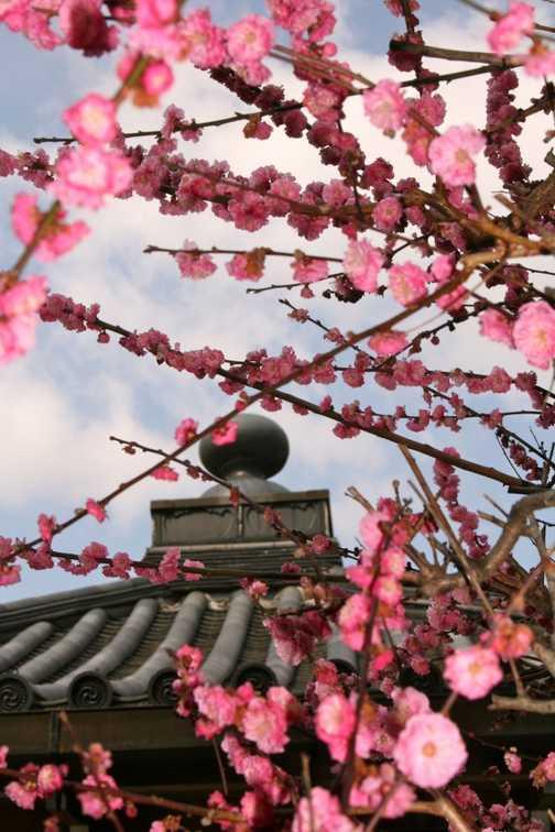 Cherry Blossom 02, Kyoto
