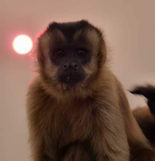 Capuchin and sun