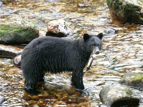 Black Bear Fishing 2