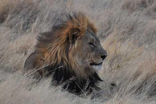 Lion lazing in Etosha NP