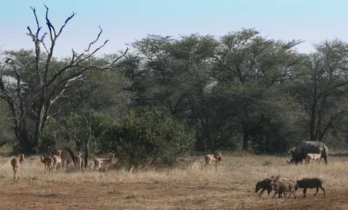 Black Rhino and friends having lunch in Kruger National Park