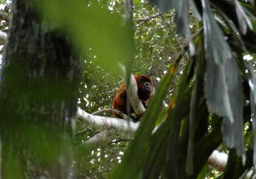 Distant Howler Monkey