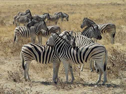 Zebra resting Etosha National Park Namibia