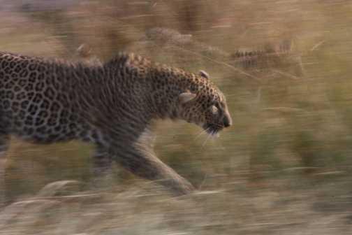 Slow pan leopard