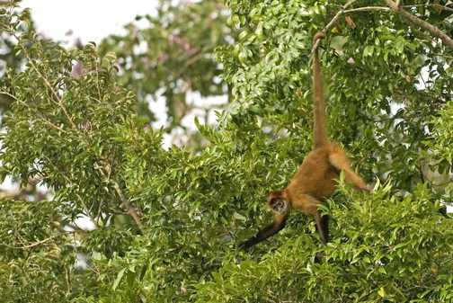 Brown spider monkey just showing off!