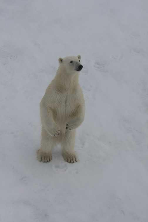 Polar Bear Stands Tall