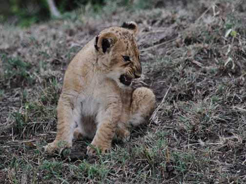 Playful cubs