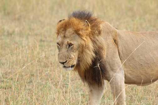 Lion, Masai Mara