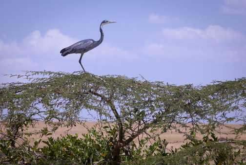 Blue Heron on top of a tree