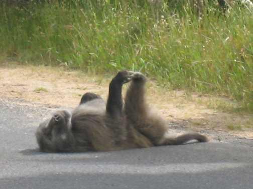 baboon ready to jump