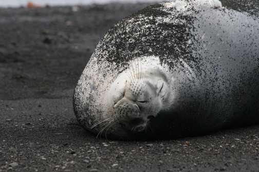 Weddell Seal Deception Island