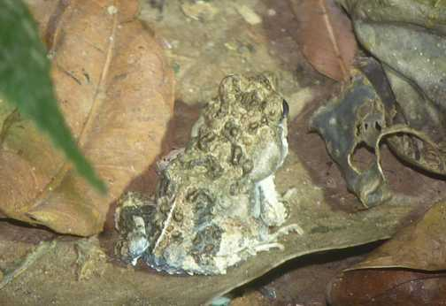 Toad from night walk