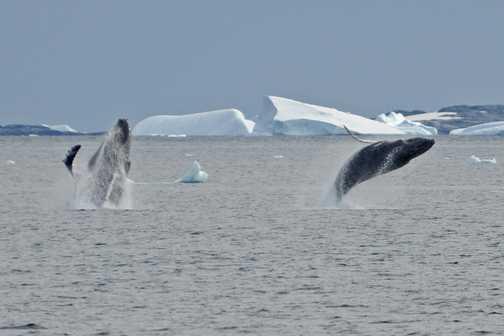 mother & calf humpbacks by Yalour Islands
