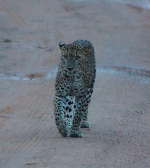 Leopard at Dusk